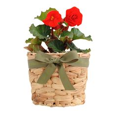 Send a plant and buy plant gifts delivered FREE Aust wide. Huge range of herb gardens and flowering plants. Tuberous Begonia, Plants Online, Flower Delivery, Potted Plants, Lush, Presents, Herbs, Create, Flowers
