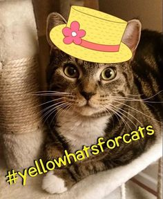 Wishing everyone a bright & sunny yellow Thursday from this little cutie @lilly_ramona! Wear your yellow hat for a chance to be featured & to support kids cats & careers with @oliverpoons. yellowhatsforcats.com #cats #catsofinstagram #cutie #happythursday #sunnyday #feelslikespring #animalrescue #adoptdontshop #hatsoncats #preciousface #sweetheart #photooftheday #linkinbio : @lilly_ramona