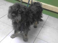 09/11/2016 SUPER URGENT - ADOPT This DOG - TO BE DESTROYED, Carson Shelter Gardena LA, 3 year old adult male Terrier, ex-pet, lovable scruff given up as owner moved away, unaltered, needs a groom, please share to save his young life.