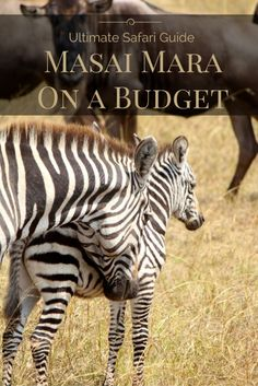 Your ultimate resource on how to travel to the Masai Mara on a budget. Includes budgets, tips, and tons of other info on one of Africa's top safari destinations! Ultimate Safari Guide: Masai Mara on a Budget - FreeYourMindTravel