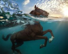 Horse swimming.