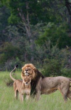 "A Proud Male Lion ~ ""Meet My Wife: 'Lois.' Gorgeous Isn't She?"""
