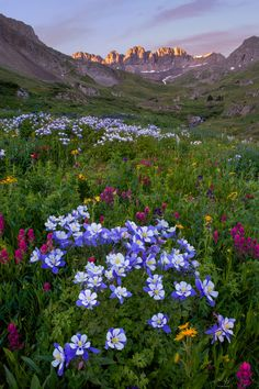 American Basin - Lush wildflowers in American Basin near Lake City Colorado - Mountain photography by Aaron Spong. Fine art prints available at: http://aaronspong.com