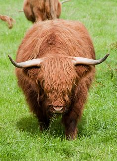 Highland Beastie