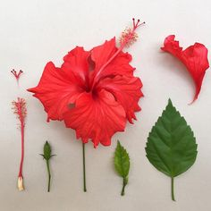 H I B I S CU S . These will always remind me of Harare where red Hibiscus hedges were all the rage when I… Paper Flowers Craft, Crepe Paper Flowers, Flower Crafts, Fabric Flowers, Silk Flowers, Giant Paper Flowers, Clay Flowers, Sugar Flowers, Flower Anatomy