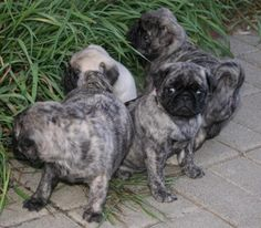 Cute Brindle Pug Puppies