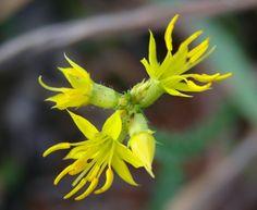 Blütenstand mit gelben Blüten von Cambessedesia espora.  João Medeiros - Cambessedesia espora  Cambessedesia espora - MELASTOMATACEAE - Parque Olhos D'Água - Brasília - Distrito Federal - Brasil.