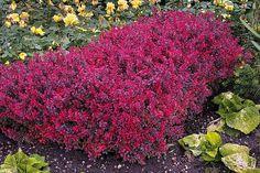 "Berberis thunbergii ""Bagatelle"" - Japanese barberry, Thunberg barberry, love the color.  :)"