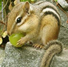 Esquilo comendo uma frutinha Esquilo comendo