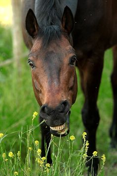 ༻❁༺ ❤️ ༻❁༺ Horses Have The Best Smiles! All The Pretty Horses, Beautiful Horses, Animals Beautiful, Beautiful Creatures, Funny Horses, Funny Animals, Cute Animals, Zebras, Horse Pictures