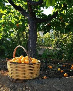 Image discovered by ♡🅻🅰🅳🅴🅴_ORCHARD♥︎. Find images and videos about fruit, oranges and orange tree on We Heart It - the app to get lost in what you love. Tumblr, Raindrops And Roses, Oranges And Lemons, New Leaf, Water Garden, Winter Time, Peonies, Basket, Landscape