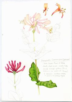 Completed botanical illstration study of honeysuckle plant by Lizzie Harper