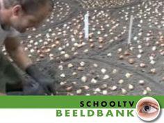 Bollen planten - Beeldbank / Netwijs.nl - Maakt je wereldwijs