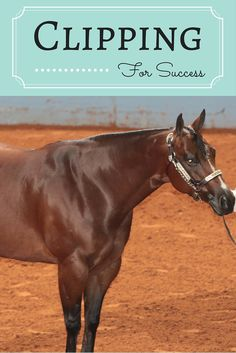 Learn how to clip your horse for success in the show ring.