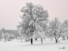 """Snowy Trees"" The morning after a snow storm in Michigan"