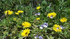 Wild flowers in Betty's Bay