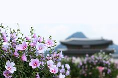 เที่ยวเกาหลี รู้ยัง!!! ดอกไม้ประจำชาติของเกาหลี คือดอกอะไร??