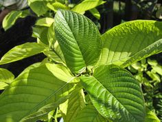 This plant is from the coffee family and used as a pain reliever. Some people try to get s high using Kratom. Like any drug too much of it will land you in the hospital.
