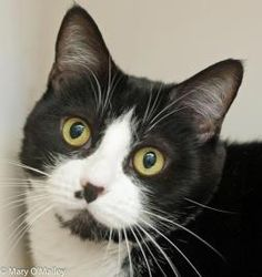 Adopted! Oh my, does 5 1/2-year-old Mavis love to talk!  Just invite this vocal girl to your lap for some quality petting time and she will tell you all about herself with lots of meows and grumbles.  This pretty and personable lady has been at Fairfax County Animal Shelter since July 25, 2014.  Come by and have a chat today!