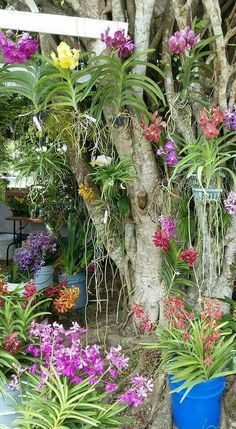 orchids for sale Vanda Orchids, Orchids Garden, Orchid Plants, Garden Trees, Air Plants, Tropical Garden, Tropical Plants, Tropical Flowers, Exotic Flowers