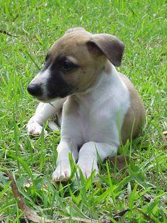 Puppy Dog Breeds