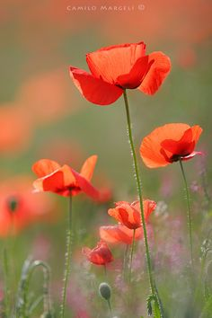 Red Spring (XXVI) - Some days is best to have memories. Exotic Flowers, Love Flowers, Beautiful Flowers, Flanders Poppy, Blue Flower Wallpaper, Dance Art, Flower Pictures, Red Poppies, Flower Arrangements
