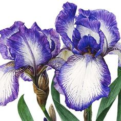 The vivid Bearded Iris only flowers for a short time- capture them while you can! #iris #spring #flowerpainting #watercolorflowers #painting #watercolour #watercolor #botanicalart #flowerstagram #instabloom #realism #realisticart #watercolorpainting #instaart #annamasonart    #Regram via @annamasonart