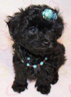Tiny gal, so cute. (Malti-poo)