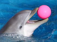Dolphin with a pink ball