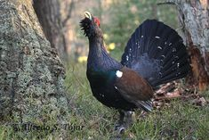 metso Grouse, Wildlife Nature, Finland, Natural Beauty, Hunting, Birds, Pictures, Edinburgh, Wordpress