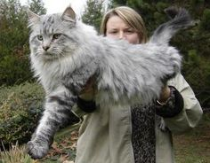 Maine Coon cats are huge, intelligent and very good with children.