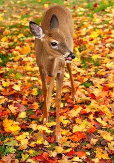 őszi tájak és állatok ・  Bambi! .. on a carpet of fallen crunchy leaves in Autumn.