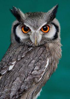 "llbwwb: "" (via White Faced Scops Owl by Kev Morris / 500px) """