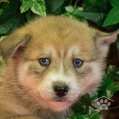 Check out the Pomsky puppies for sale at One Bark Plaza. Our Pomsky breeders are trustworthy and honest, so contact us to meet your Pomsky today. Pomsky Puppies For Sale, Small Puppies, Pomsky Breeders, Puppy Breeds, Friends Forever, Cuddle, Puppy Love, Corgi, Adoption