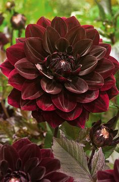 ~~Dahlia After Dusk | stunning dark maroon blooms on dark foliage make a perfect focal point in the garden | Veseys~~