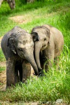 Sibling elephant