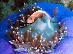 sea anemone with anemonefish