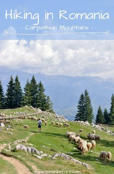 Hiking in Piatra Craiului Mountains in Romania was an unforgettable hiking experience. Massive limestone ridges, wandering out from the dense old-growth spruce forests into an open canyon with amazing views, wandering through sheep following the call of their herder, all with a hearty slice of cake on top. Best hike ever.