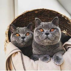 Shoutout to these 2 cuties  @porkyandchops . . #catify #catifyco #catsofinstagram #catstagram # #kittensofinstagram #kittenlove #cats #bsh #britishshorthair