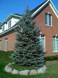 Blue Spruce Tree, front yard for continuos year-round green, sound blocking, road dirt blocking & privacy! Backyard Trees, Garden Trees, Trees And Shrubs, Trees To Plant, Blue Spruce Tree, Garden Landscaping, Landscaping Ideas, Dream Garden, Outdoor Projects