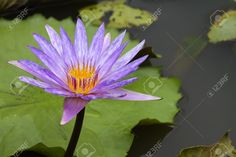 The Beauty Of The Lotus Stock Photo, Picture And Royalty Free Image. Image 10636536.