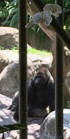 Gorilla in a Natural Frame