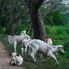 En los llanos de Apure el ganado vacuno está por doquier. Es fácil ver escenas como esta al trasladarse entre los hatos o fincas vecinos #ElNacionalWeb #MiLlano_Estrella #Venezuela #Llanos #Apure #vaca