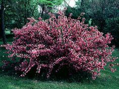 Weigela bush.....garden plants that grow from cuttings