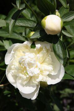 """La Pivoine """"Sarah Bernhardt"""" sa compagne une graminée le blog ...une fée d' hiver"""