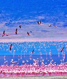 Flamingos on Lake Nakuru,Kenya: