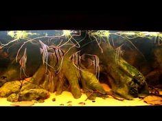 Wild Pterophyllum scalare - Rio Cuiuni - YouTube