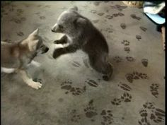 In the ancient battle of wolf vs bear... cute wins VIDEO - visit website to watch