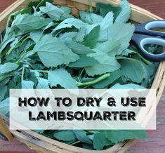 Lambsquarter is a vitamin-packed, nutritional powerhouse! It's so easy to dehydrate and use throughout the winter - learn how here! Healing Herbs, Medicinal Plants, Edible Wild Plants, Herbs For Health, Wild Edibles, Herb Garden, Fruit Garden, Garden Pests, Garden Tips