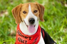 Beagle Dog for Adoption near Florida, Miami, USA. Mutt Dog, Beagle Dog, Kitten For Sale, Cats For Sale, Local Dog Shelters, Beagles For Sale, Rescue Dogs For Adoption, Imperial Beach, Street Dogs